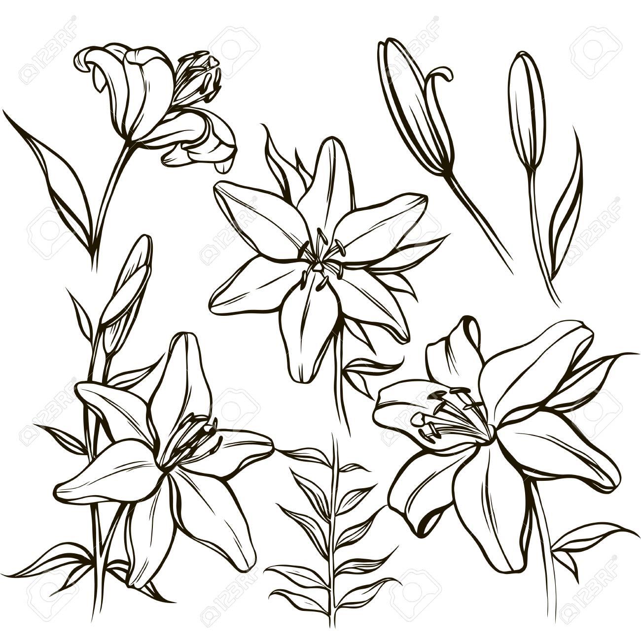 Vecteur Défini Avec Fleur De Lys Blanc Orné Et Bourgeon En Noir Et En Couleur Isolé Sur Blanc Silhouette Linéaire Douverture éléments Floraux Dans