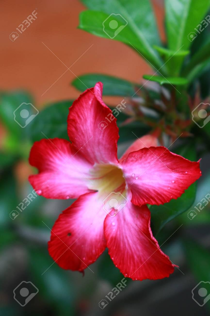Piante Con Fiori.Immagini Stock Desert Rose E La Pianta Con Fiori Colorati Image