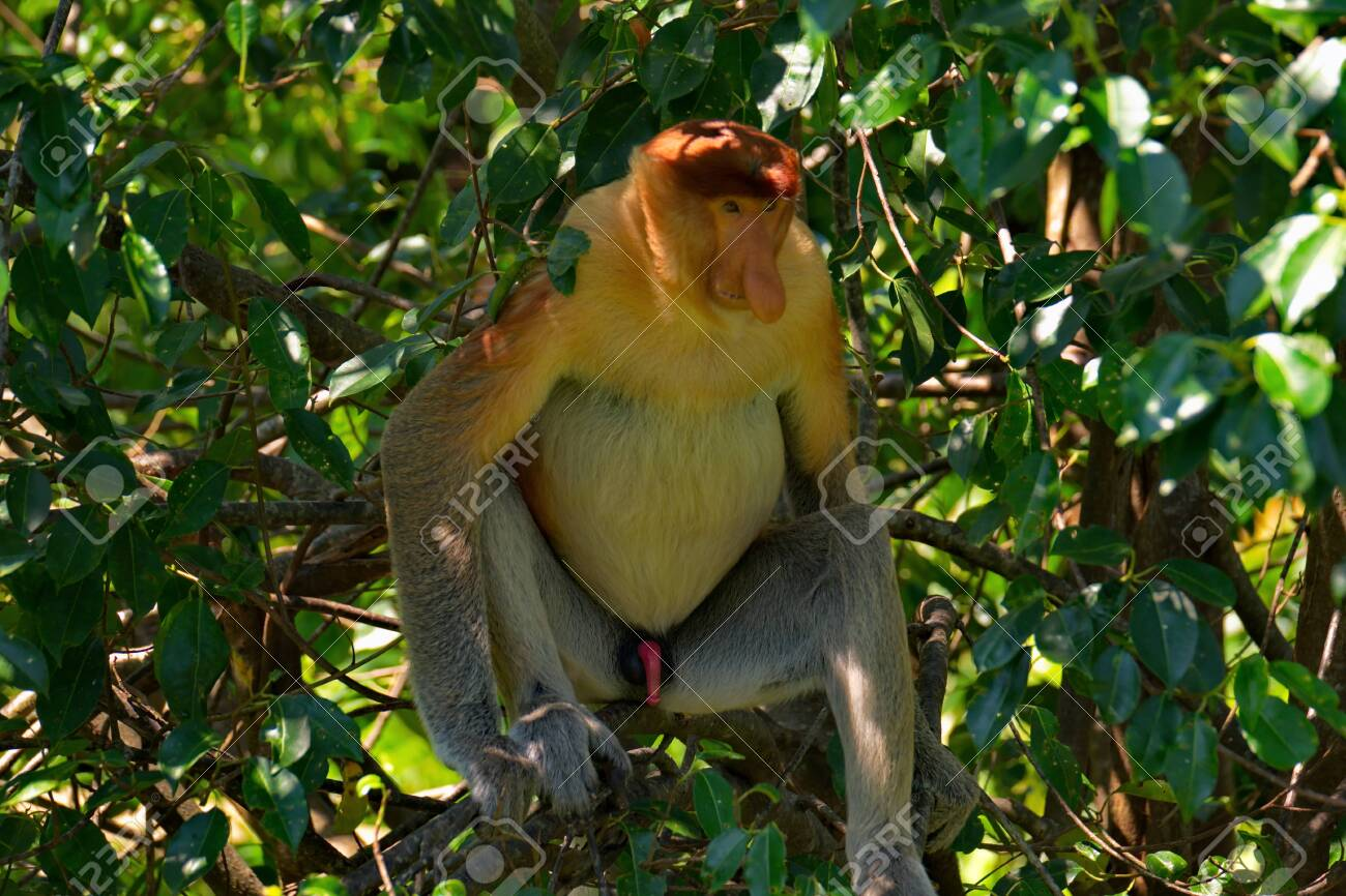 Malaysia. The long-nosed monkey or kahau (lat. Nasalis larvatus) is a species of Distributed exclusively to the island of Borneo, where it inhabits the coastal regions and valleys. - 127988610
