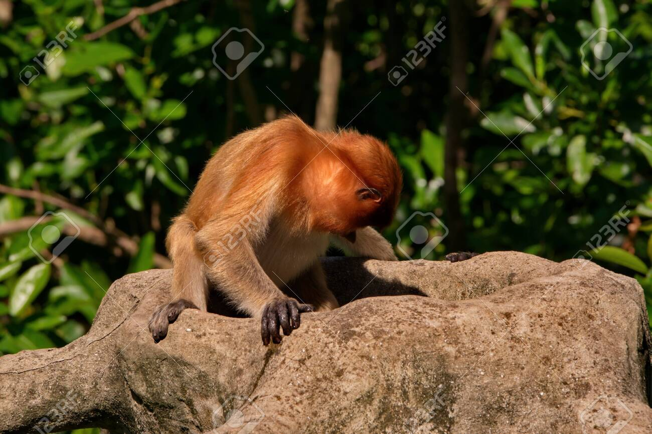 Malaysia. The long-nosed monkey or kahau (lat. Nasalis larvatus) is a species of Distributed exclusively to the island of Borneo, where it inhabits the coastal regions and valleys. - 133253440
