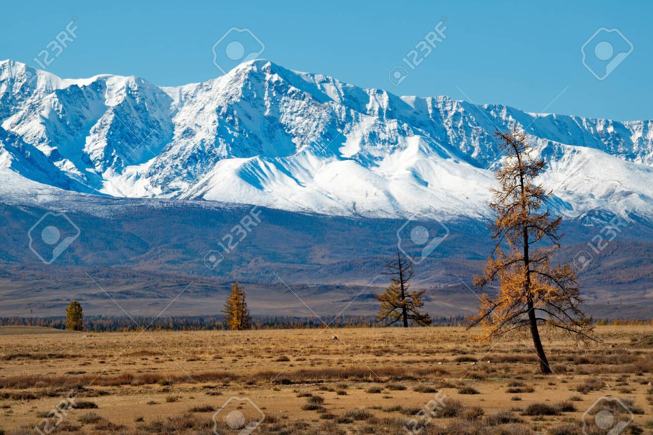 Lonely larch trees on the background of snow-capped mountains. Russia. mountain Altai. Desert steppes at the foot of the North Chui mountain range along the Chui tract. - 133271445