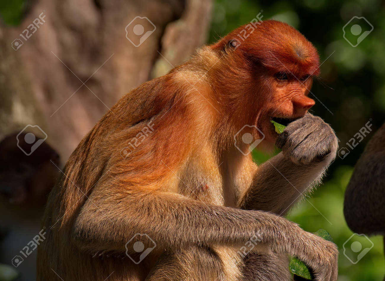 Malaysia The long-nosed monkey or kahau - a species of primates from the subfamily of thin-bodied monkeys in the family of monkeys. Distributed exclusively on the island of Borneo - 149988956
