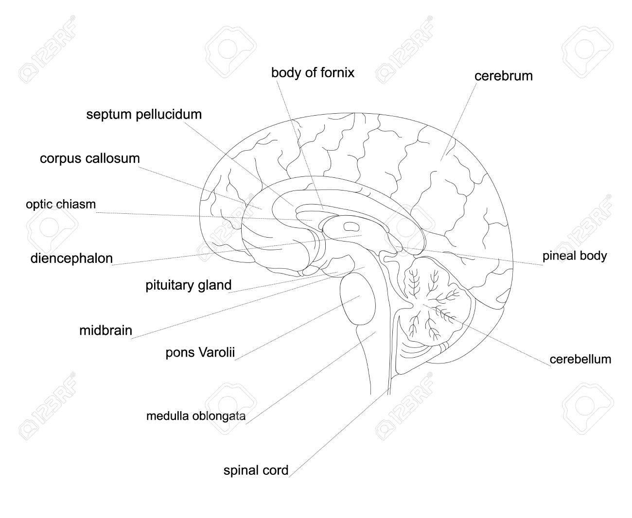 Esquema Anatomía Del Cerebro Humano. Diagrama De Línea Del Sistema ...