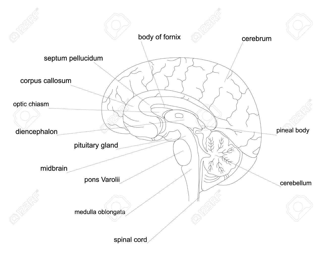 Outline Human Brain Anatomycentral Nervous System Line Diagram