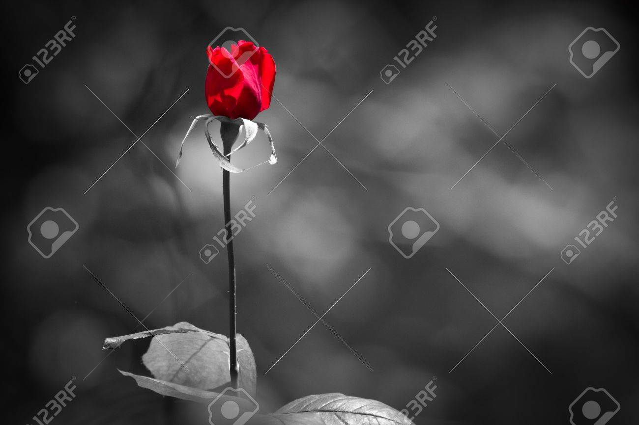 red rose on back and white Stock Photo - 19359824