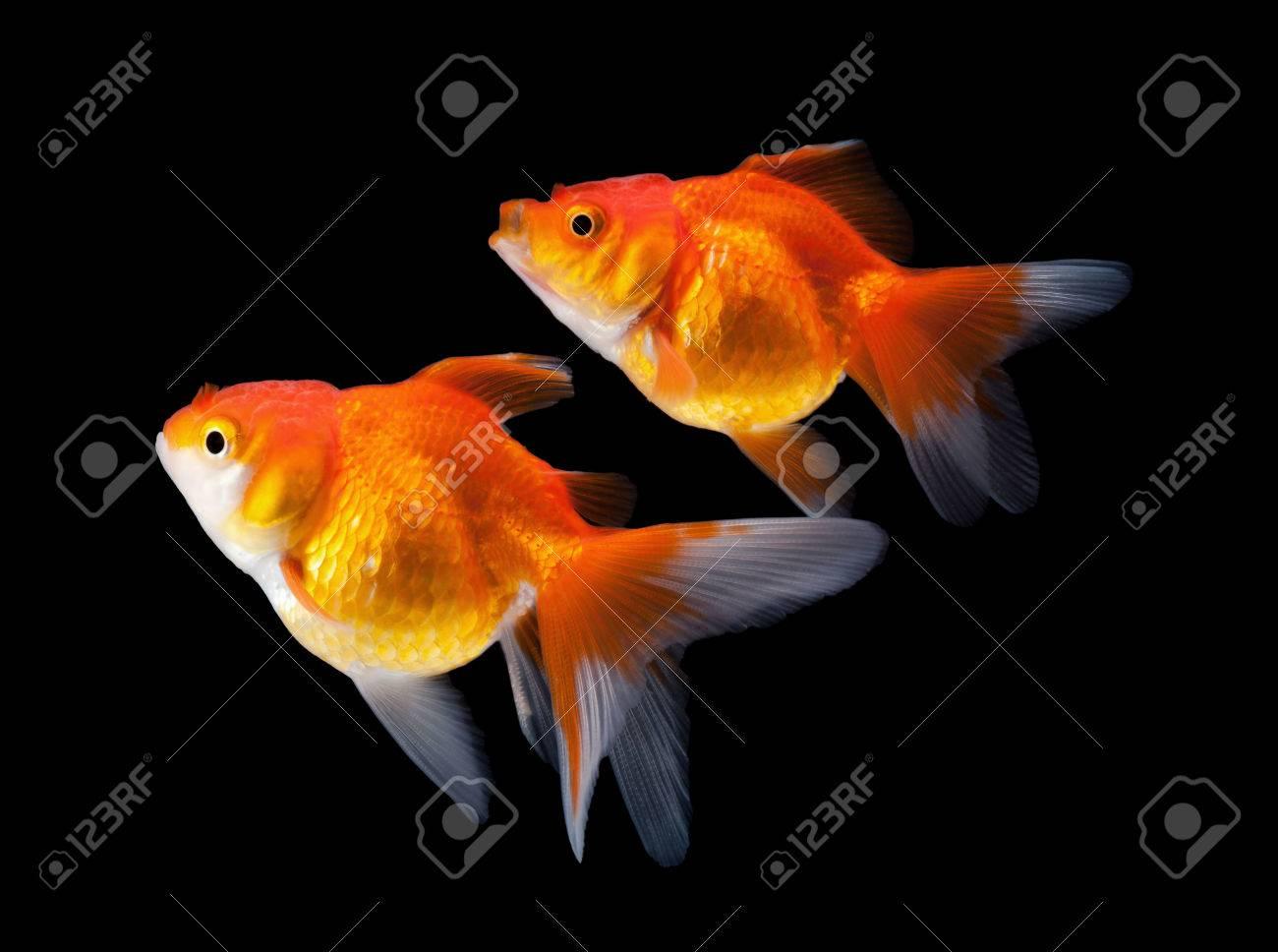 goldfish isolated on black background - 54275511