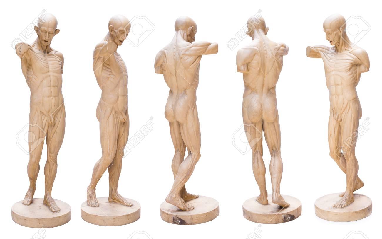 Model Emulation Resin Muscular Human Anatomy Model For Art Stock