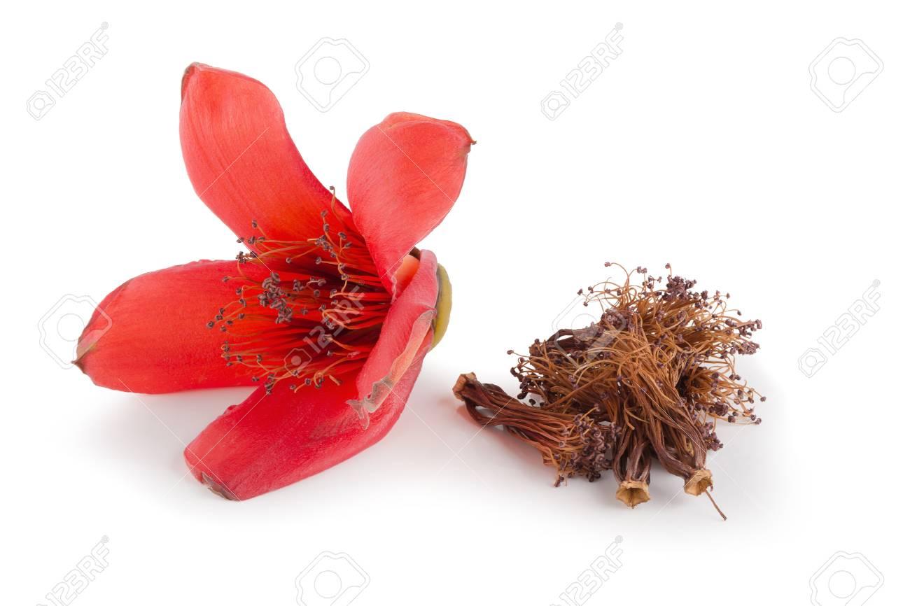 Red Cotton Tree Flowers On White Background Bombax Ceiba Flower