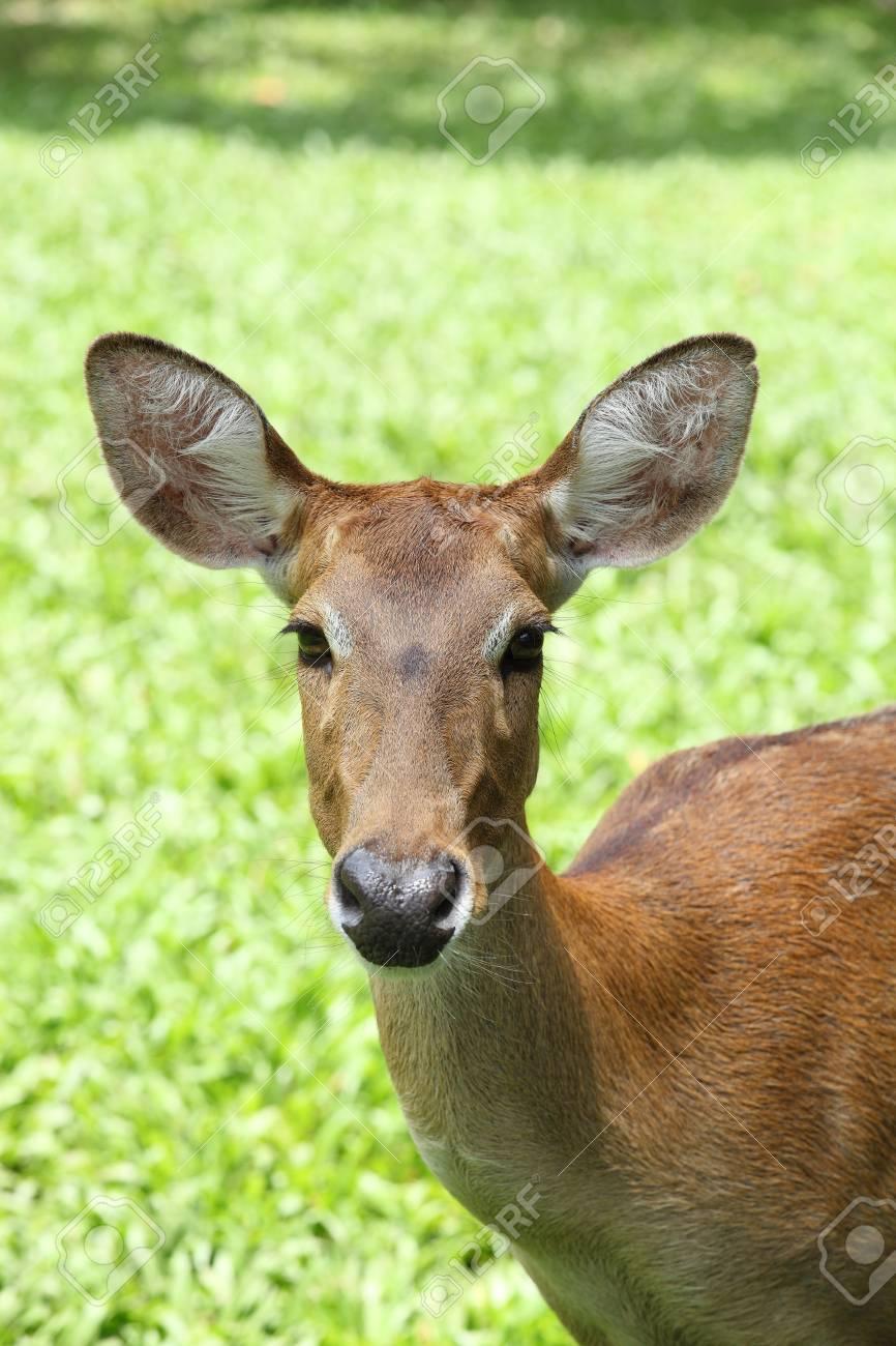 Eld s Deer Stock Photo - 13542329