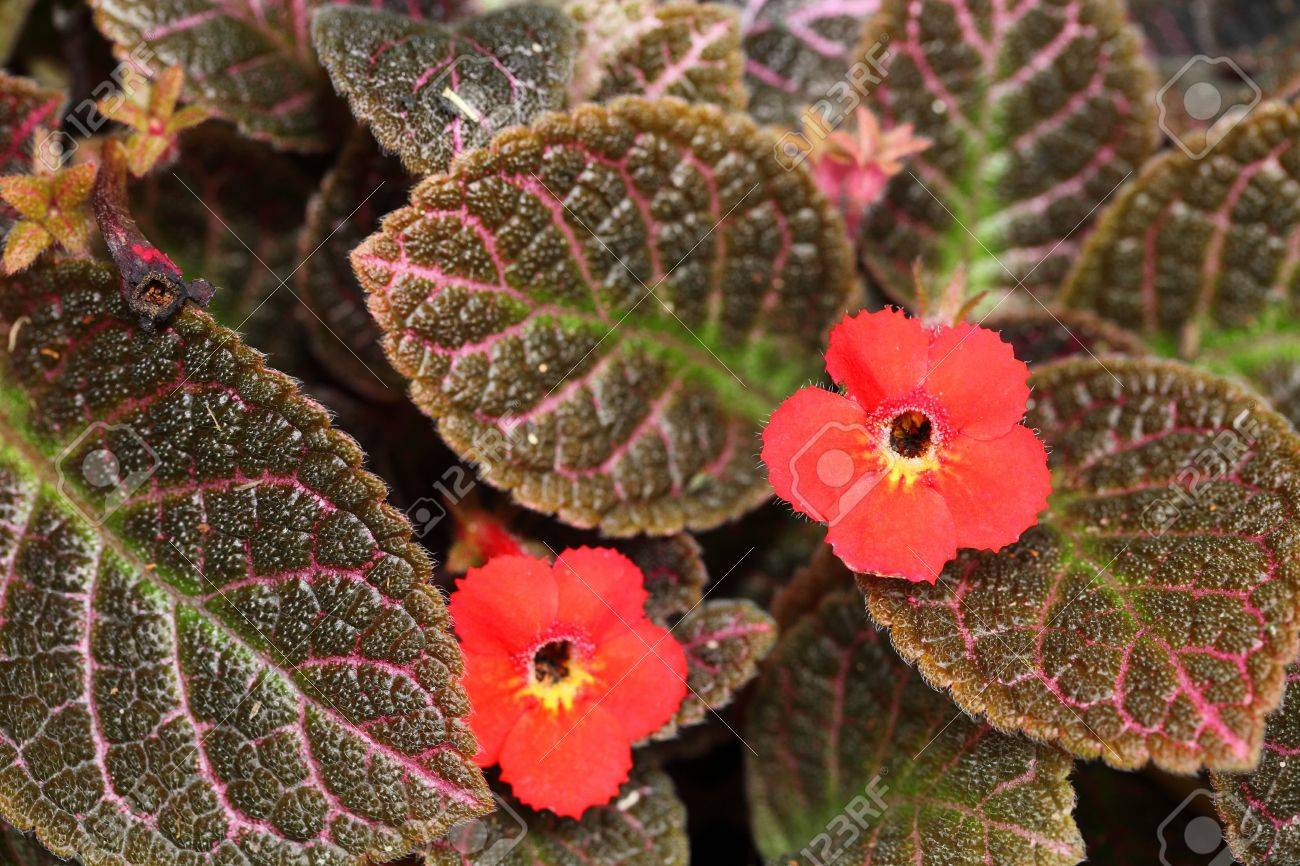 The close up of red Episcia Stock Photo - 13870697