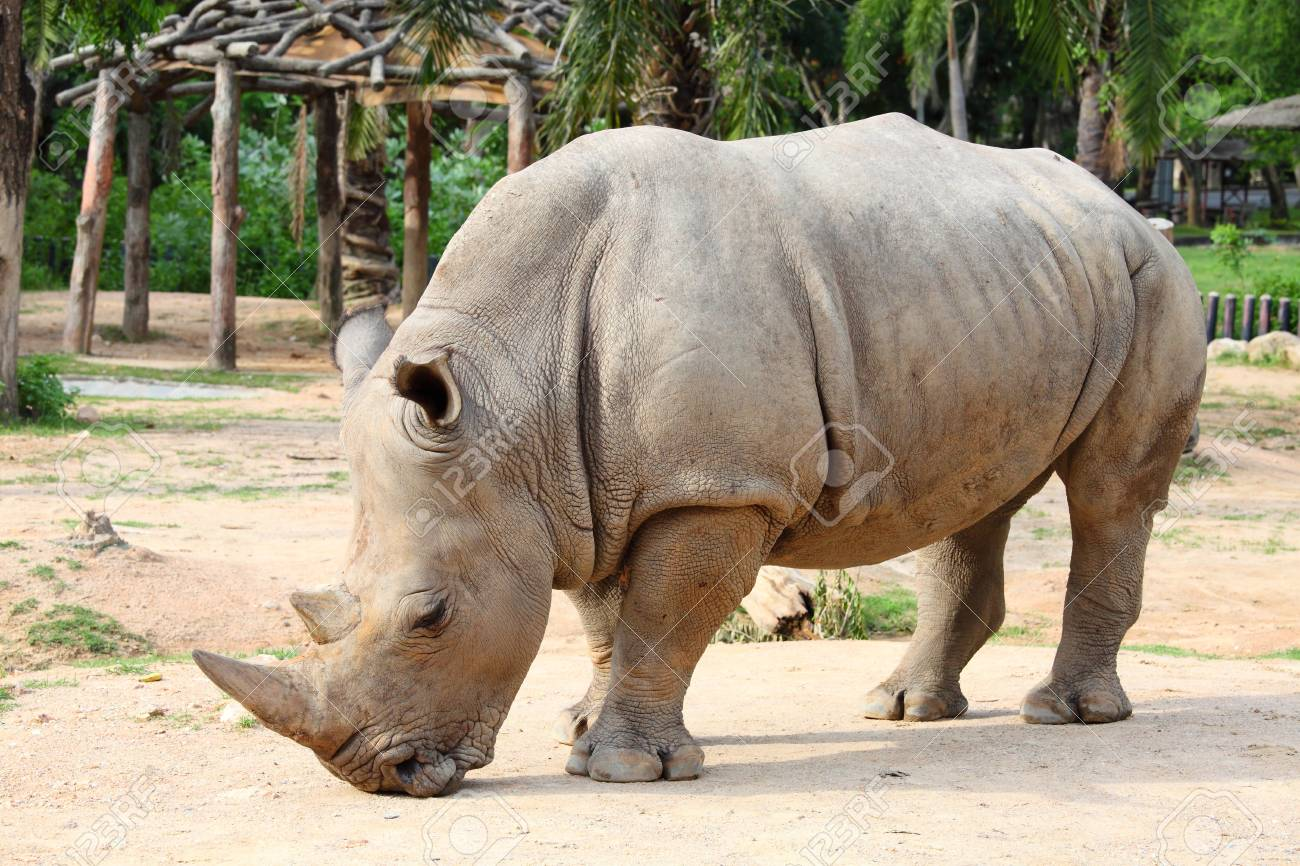 Large white  square-lipped  rhinoceros  Ceratotherium simum Stock Photo - 13732488