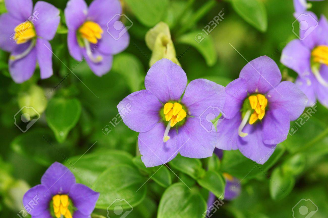 The close up of Persian Violet flower - 13951316