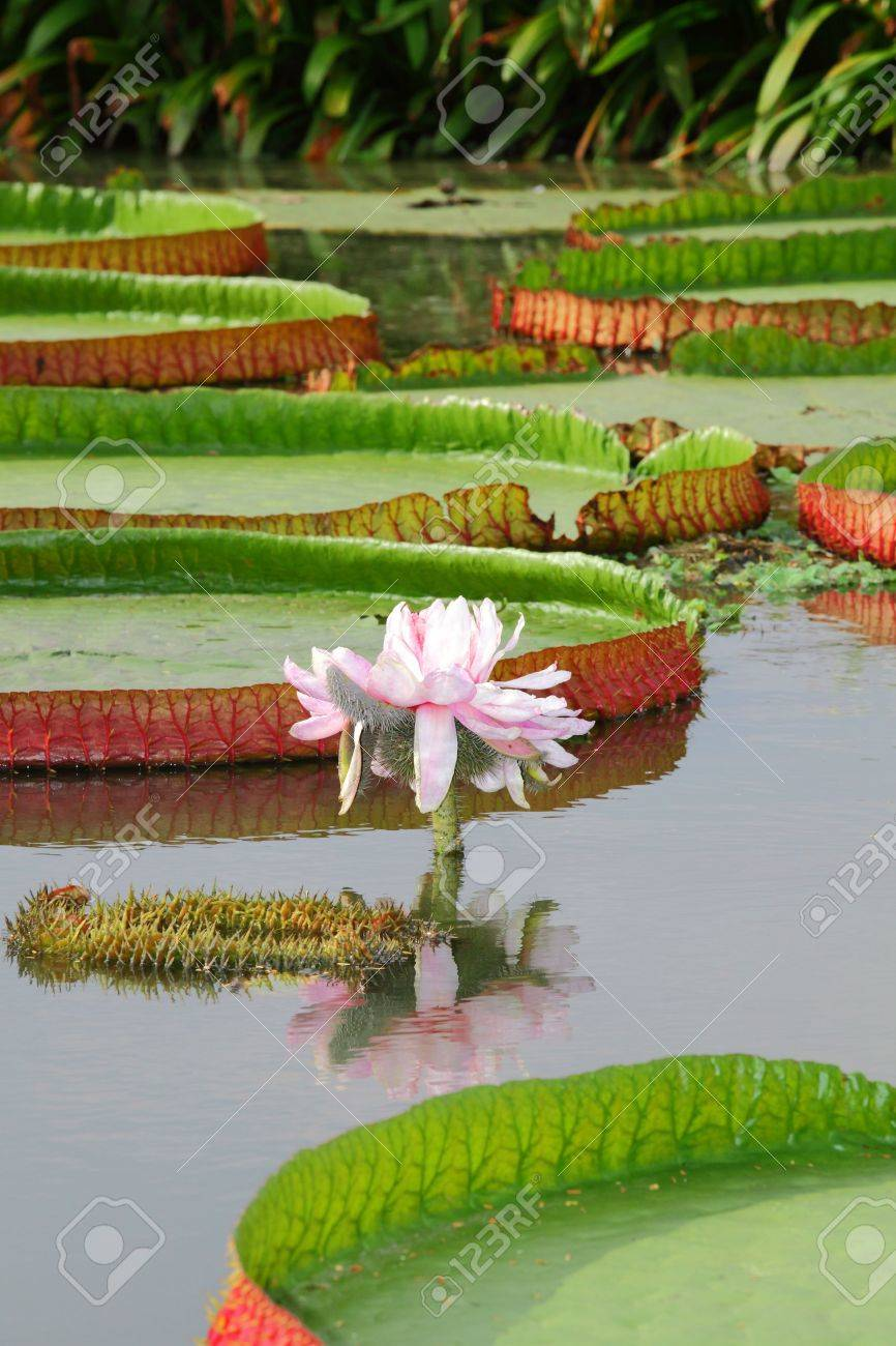 The close up of Victoria waterlily - the largest water lily in the world - 15469530