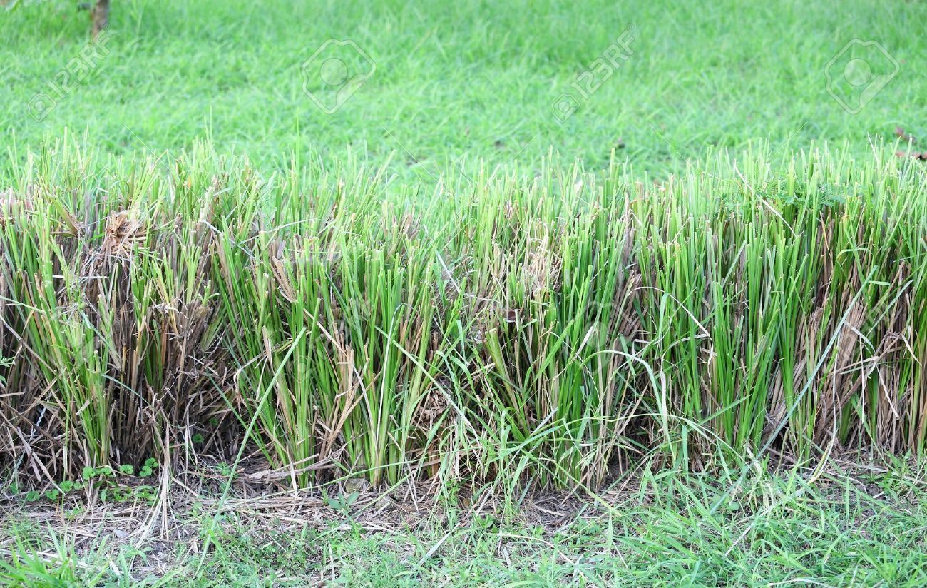 The Vetiver Grass or Vetiveria zizanioides use for protect the soil slide for background use - 16017300