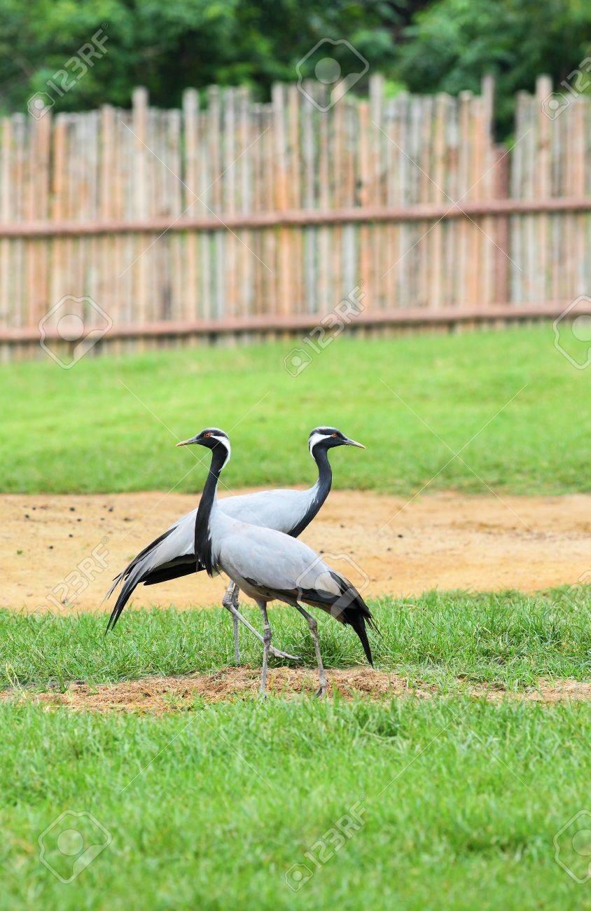 A couple of Demoiselle Crane Bird on the grass Stock Photo - 16564518