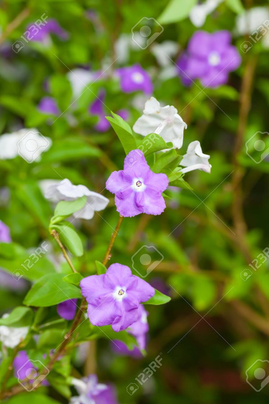 The Yesterday Today and Tomorrow flower or Brunfelsia americana L - 16824162