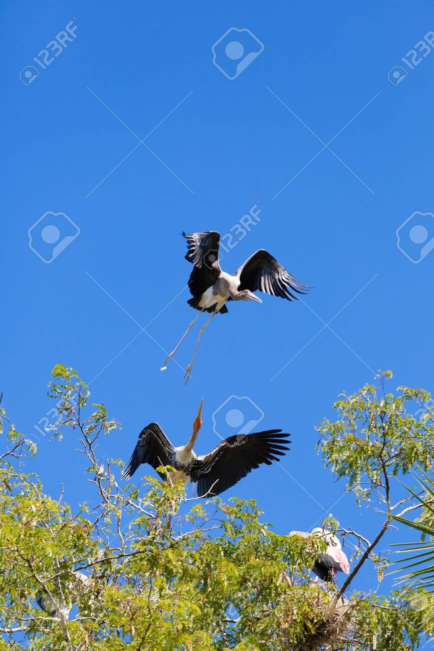 Painted Stork bird fighting for stand area on top of the tree Stock Photo - 17338538
