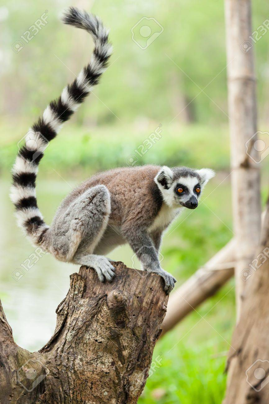 The portrait of Lemur Lemuriformes on the tree - 17751179