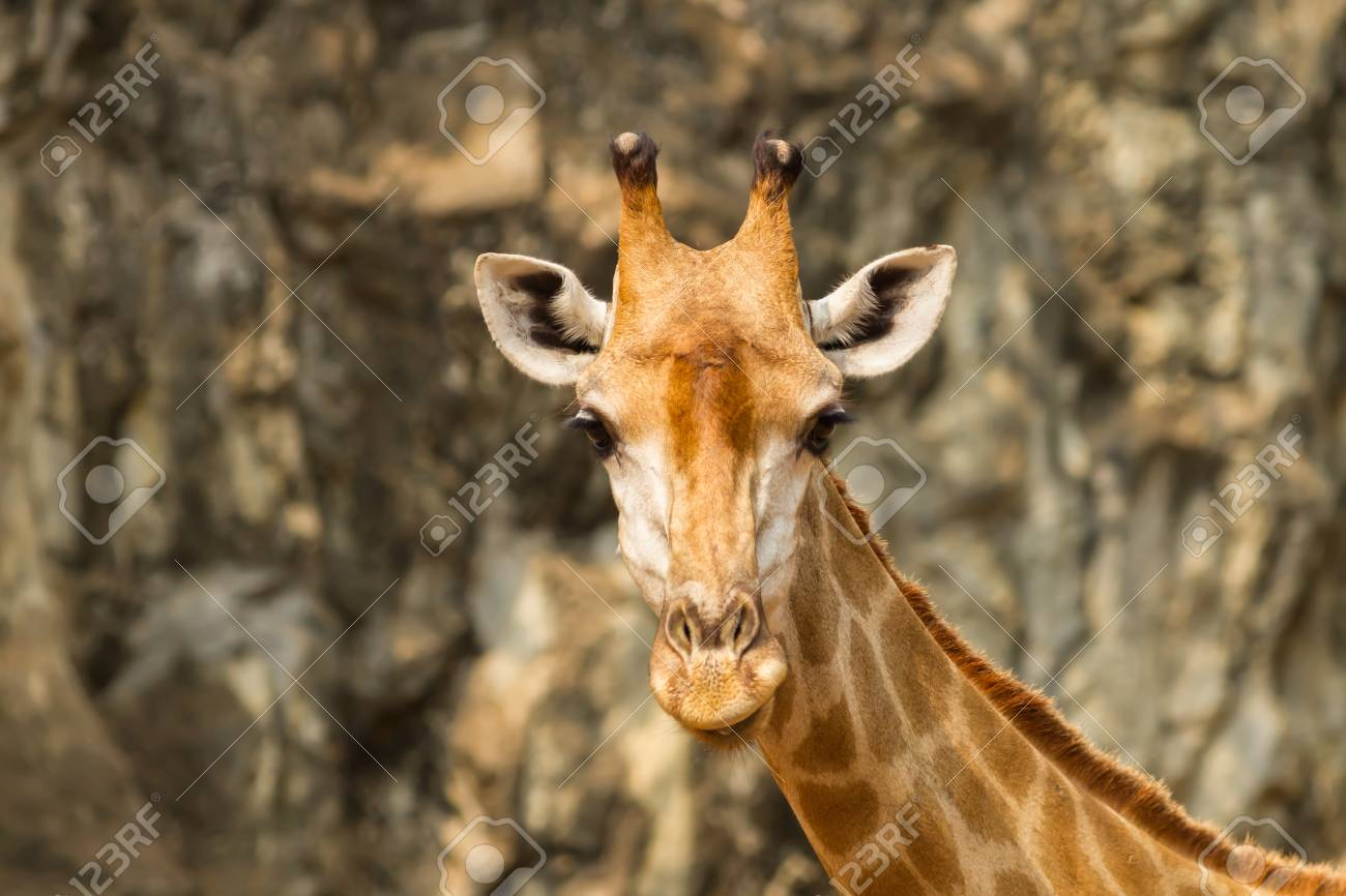 The portrait of  Giraffe stair at the camera Stock Photo - 17751189