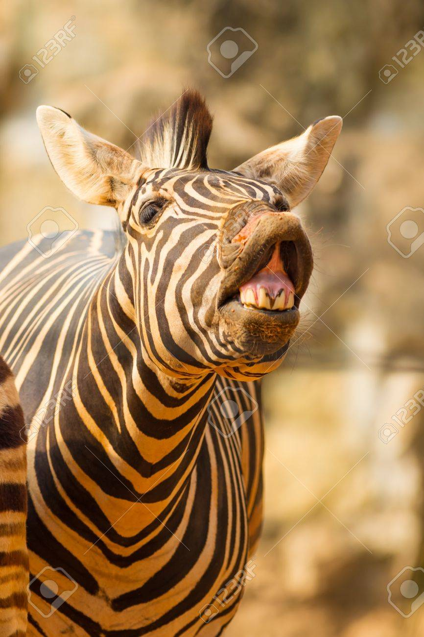 The portrait of Zebra smile and laughing Stock Photo - 18172819