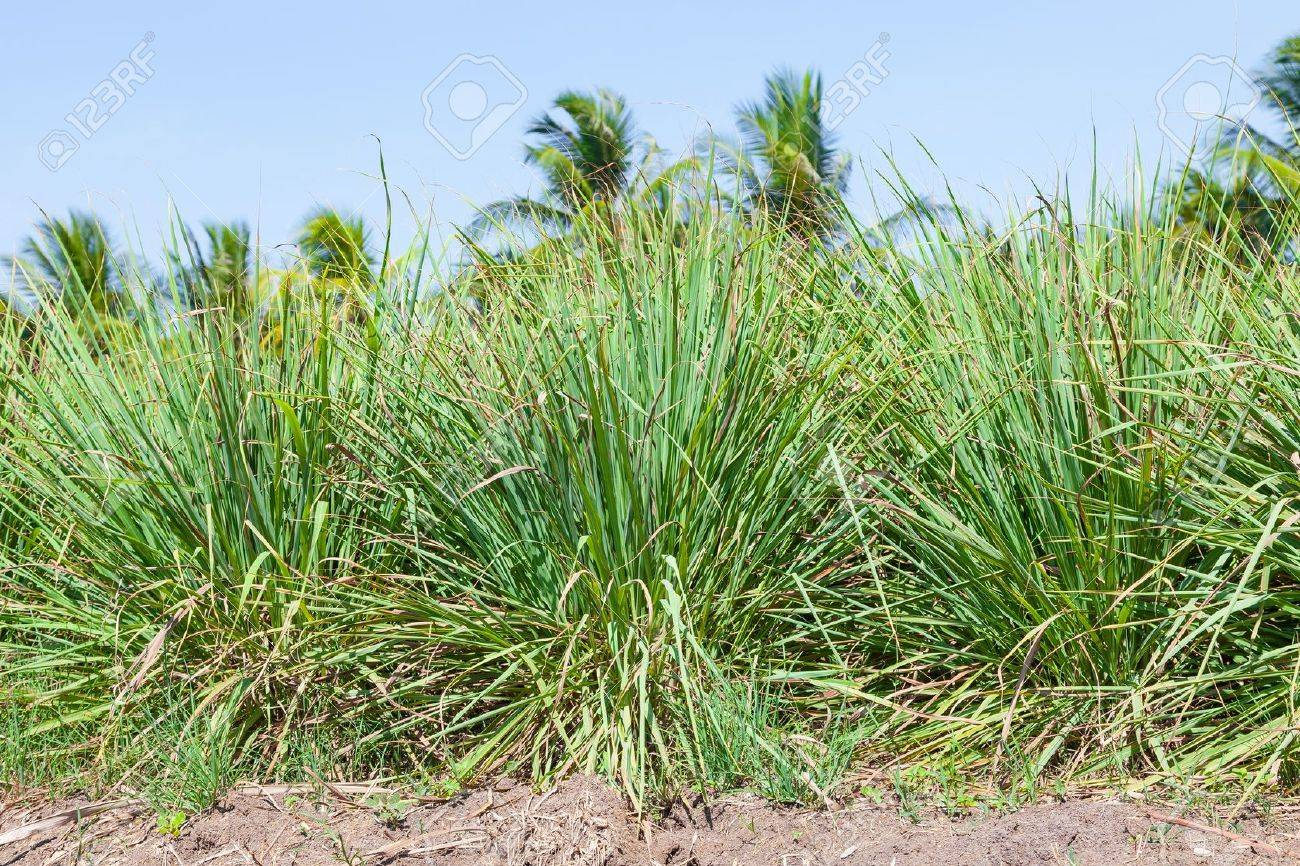 The Lemongrass ,natural Thai herb for background use - 19688721