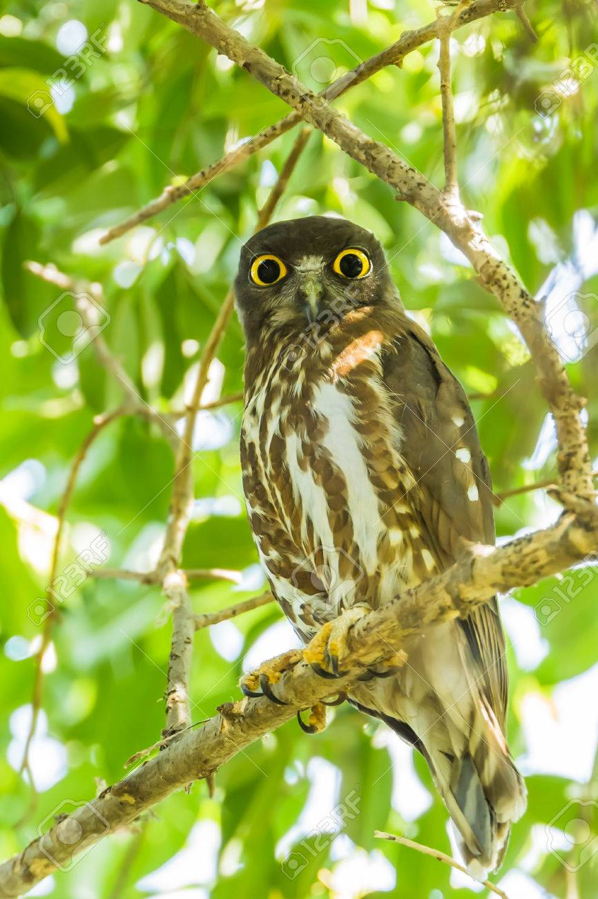 Northern Boobook Ninox japonica stair at us in nature - 25105935