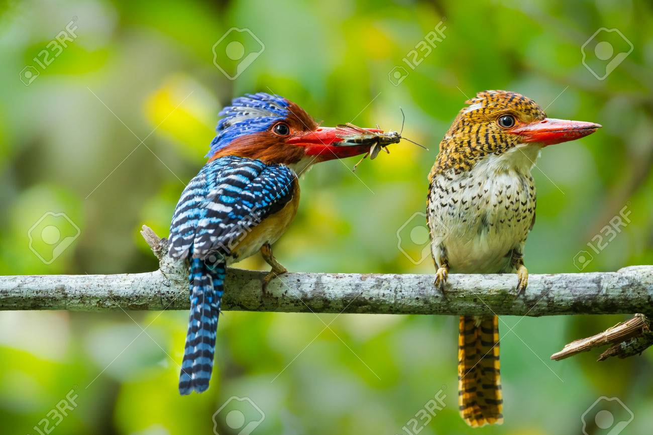 Couple of love of Banded Kingfisher Lacedo pulchella with cicada in his mount at Khao Yai National park, Thailand - 30491705