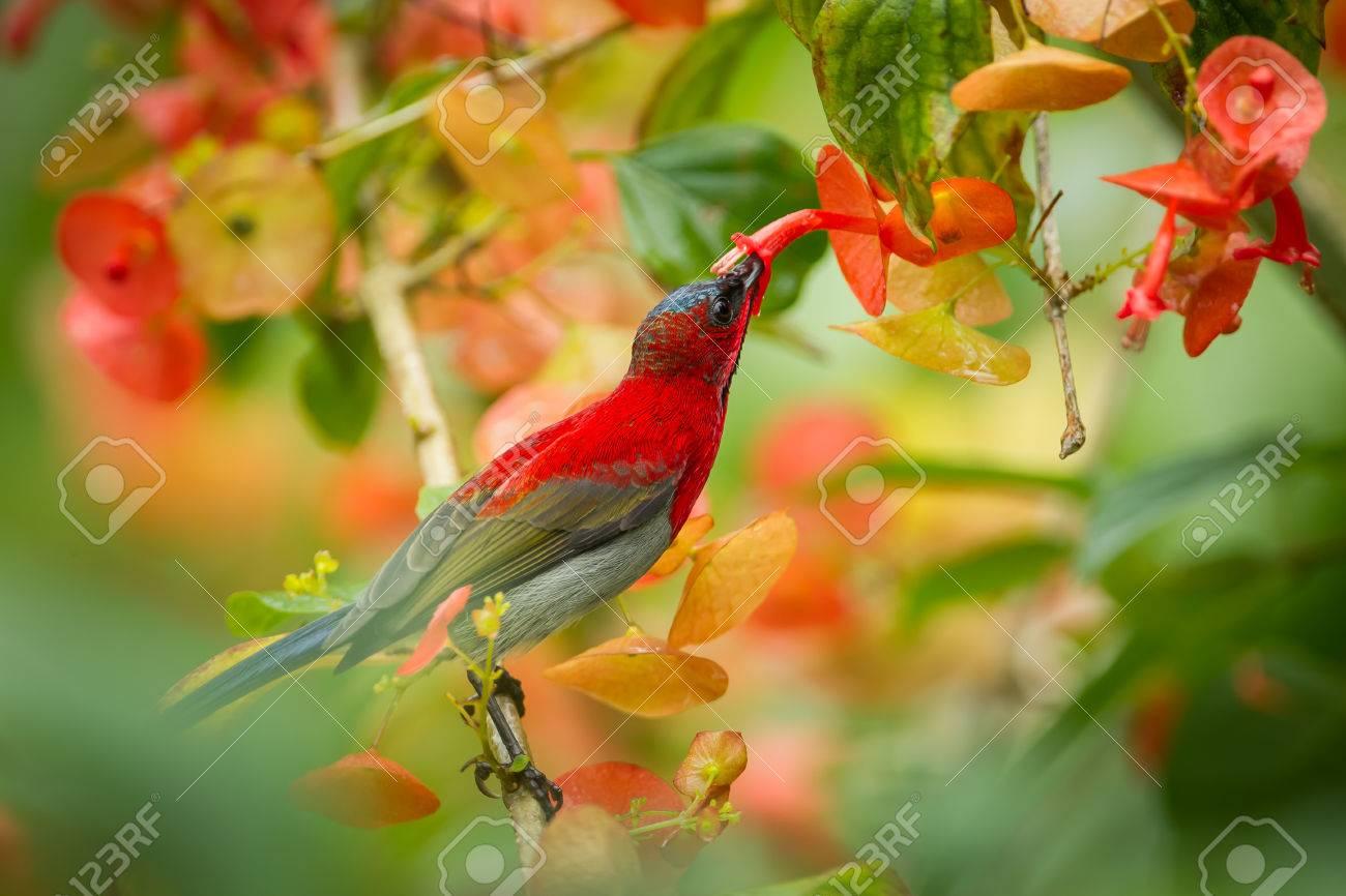 Crimson Sunbird (Aethopyga siparaja) sucking the flower in nature at Kitchakoot mountain national park,Thailand - 31906369