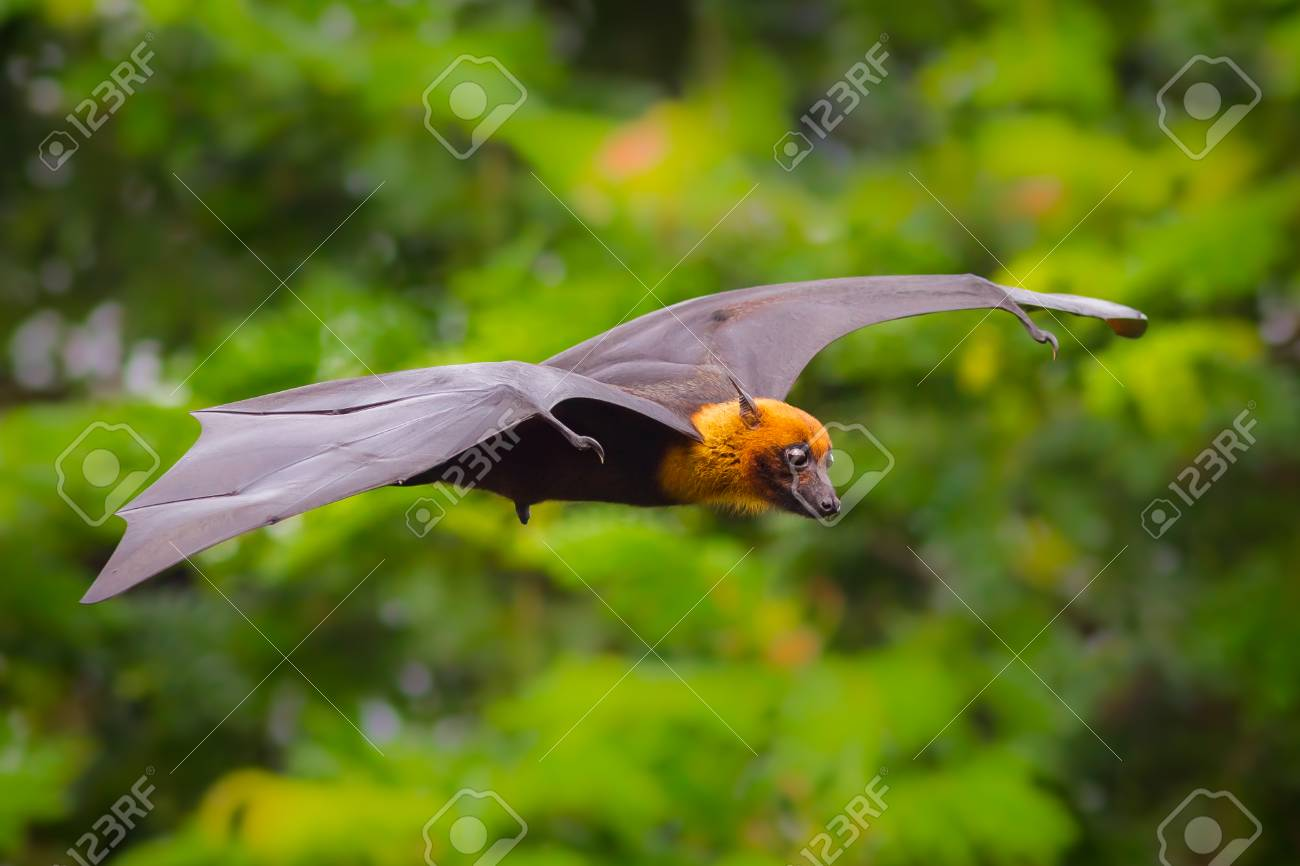 flying male Lyle - 33020309
