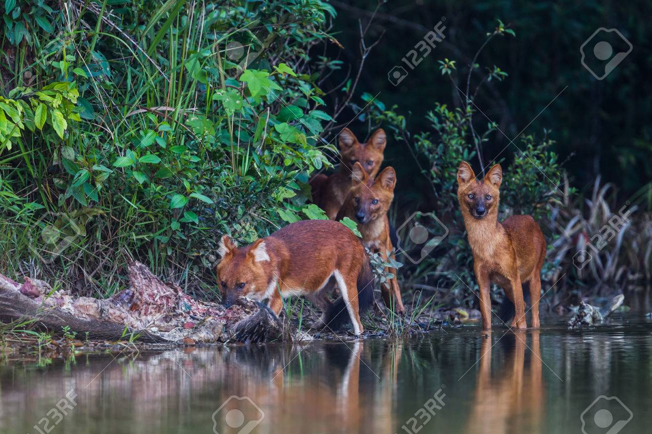 """The leader of Asian Wild Dog (Cuon alpinus infuscus) named \\\""""Gomain\\\"""" eating wild boar in nature at Khaoyai National Park, Thailand - 33327546"""