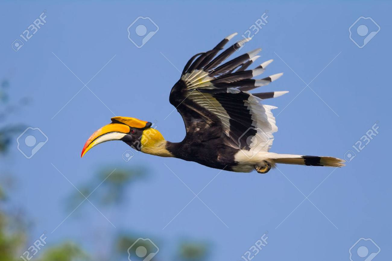 Close up side view of flying Great hornbill (Buceros bicornis) in nature at Khaoyai national park,Thailand - 37405937
