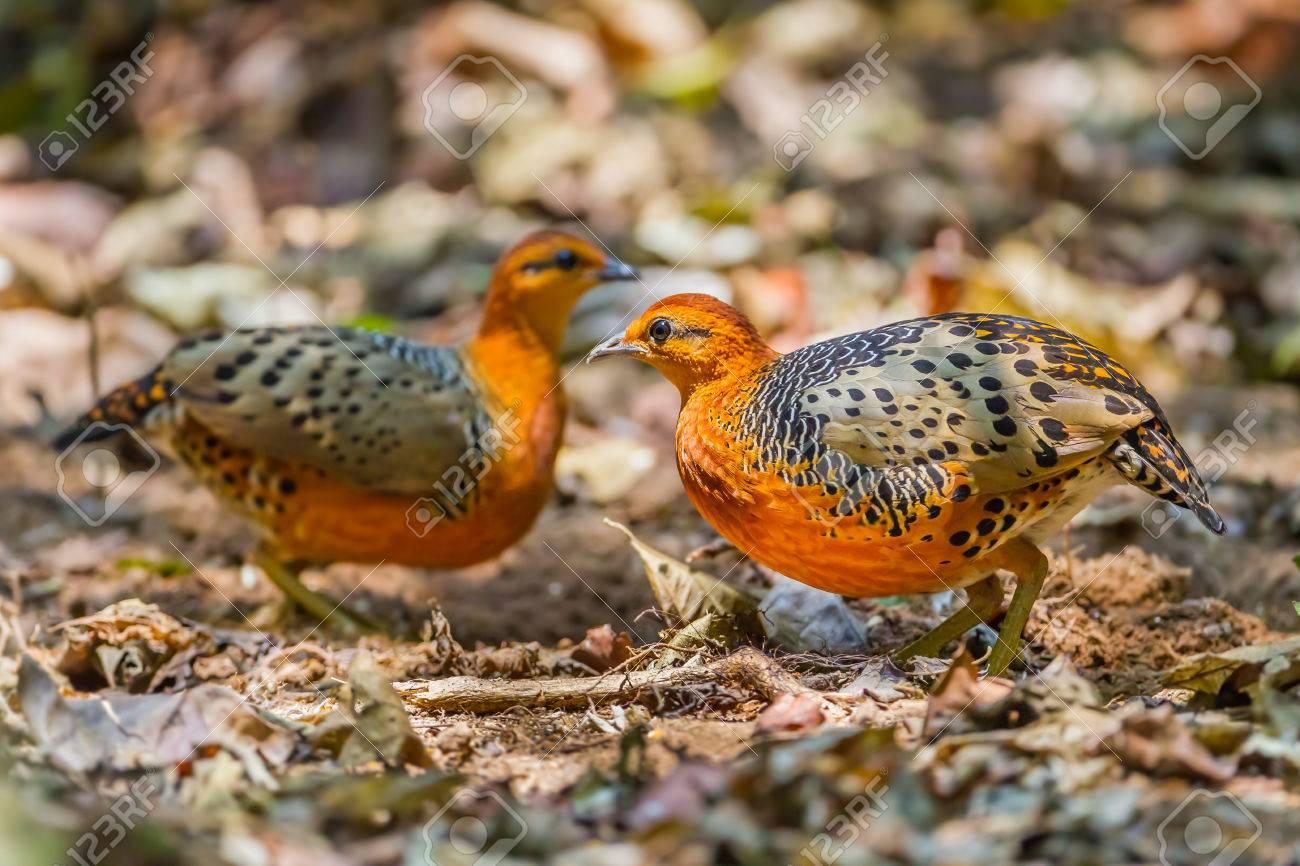 39030336-Couple-o-of-very-rare-bird-Ferruginous-Partridge-Caloperdix-oculea-in-the-forest-in-nature-at-Kaengk-Stock-Photo