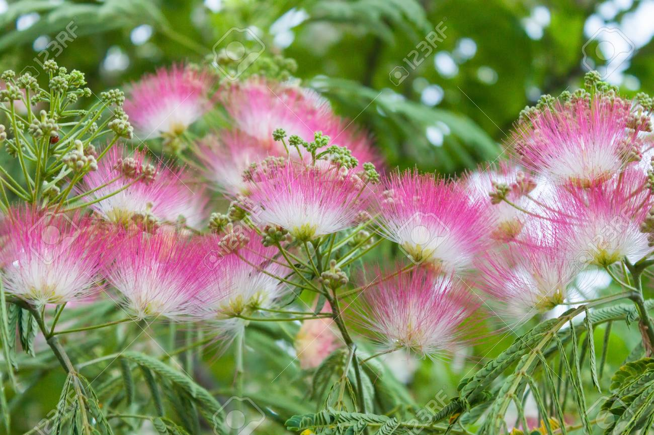 White And Pink Fluffy Flowers On A Green Background Closeup Stock