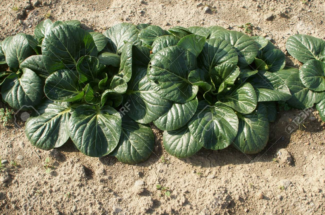 Tatsoi Growing In Vegetable Garden