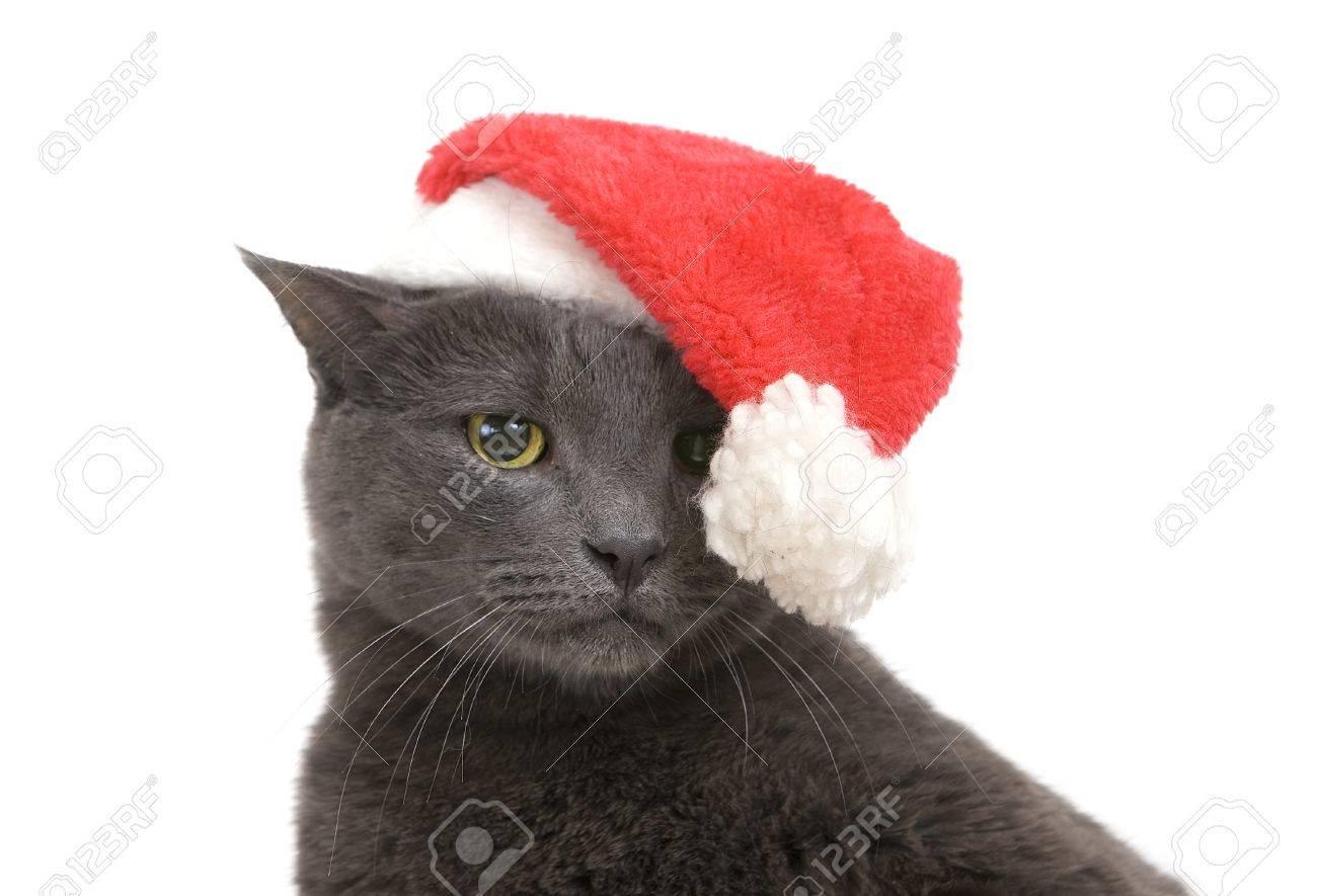 Funny Gray Cat Santa Cute Sad Christmas Cat Stock Picture