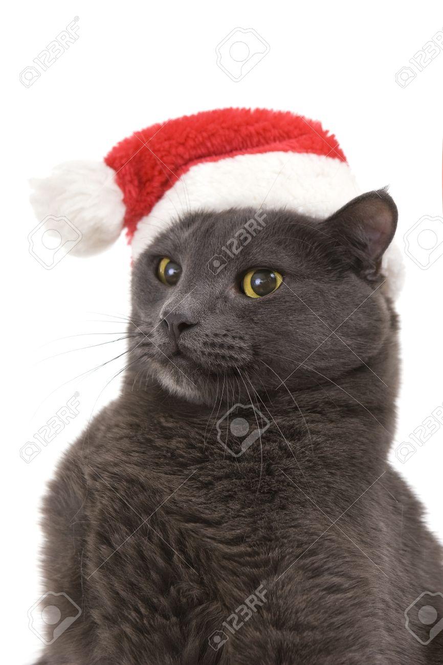 Cat Christmas.Funny Gray Cat Santa Cute Christmas Cat Christmas Pet In The