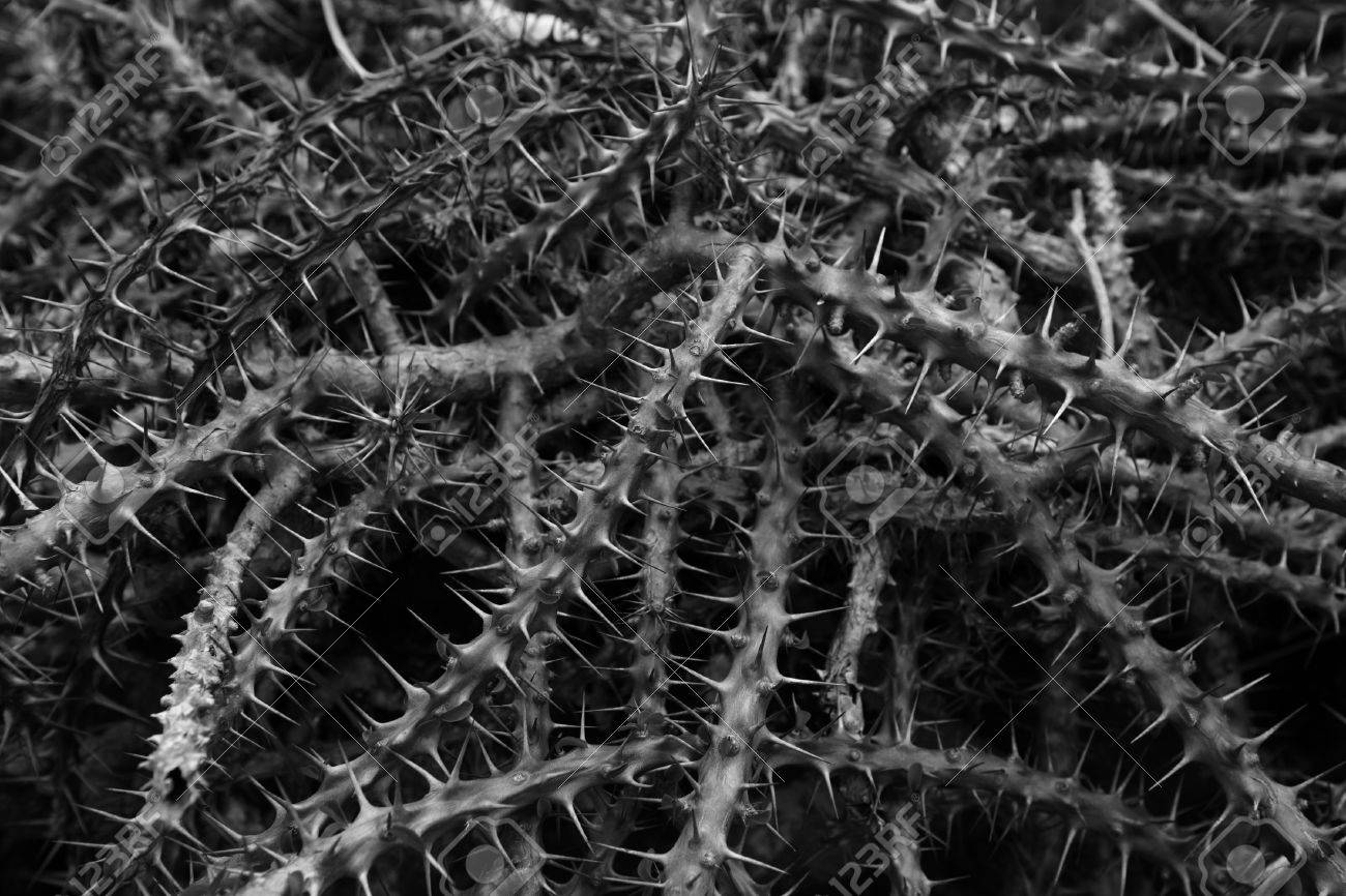 Black and white photo of the dense thickets spiny euphorbia milii close up