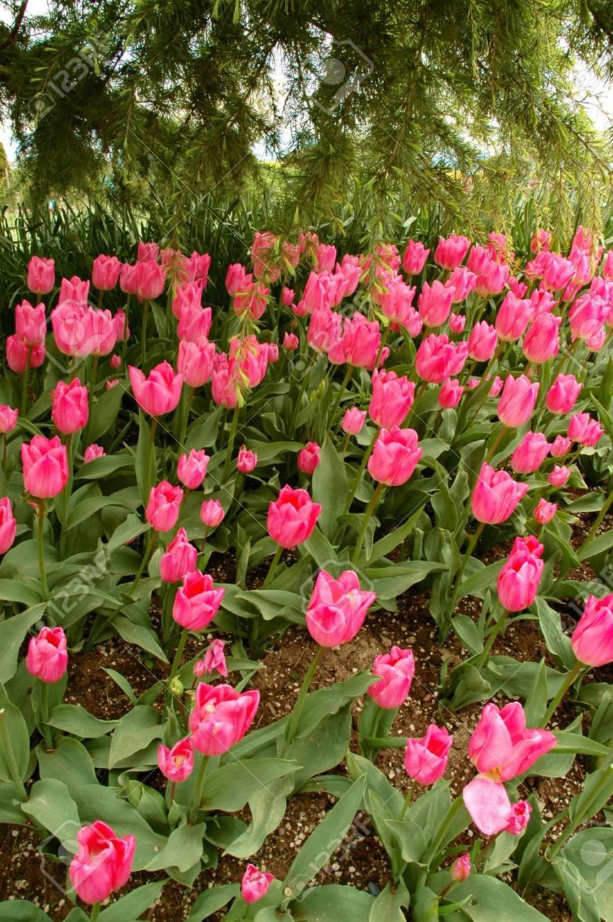 Pink tulips in a shadow of a pine tree stock photo picture and pink tulips in a shadow of a pine tree stock photo 3463964 mightylinksfo