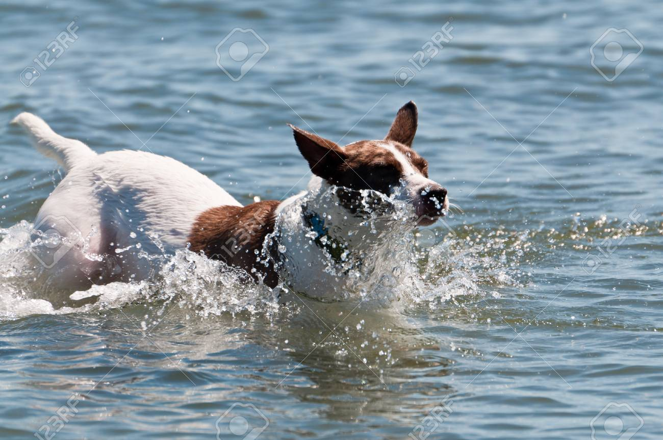 White dog with brown spots splashing in the water