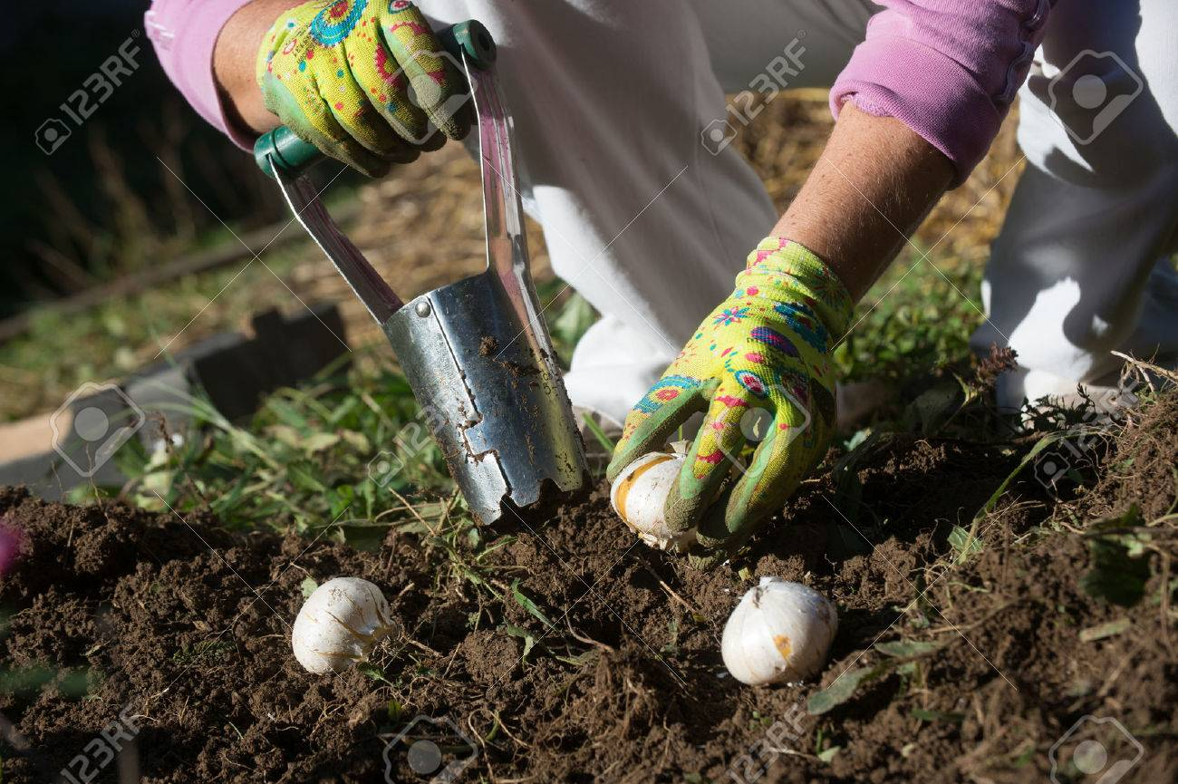 Planting Bulbs With Flower Bulb Planter Outdoors In Garden Use