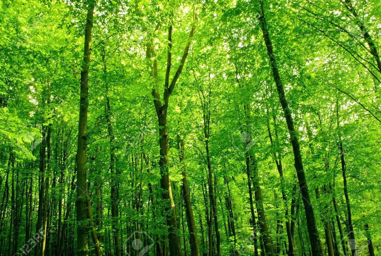 sunlight in trees of green summer forest Stock Photo - 9080981
