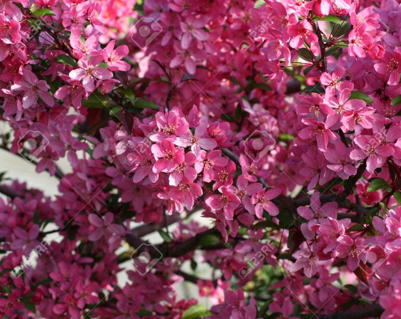Dark Pink Flowers On A Tree In The Spring Stock Photo Picture And