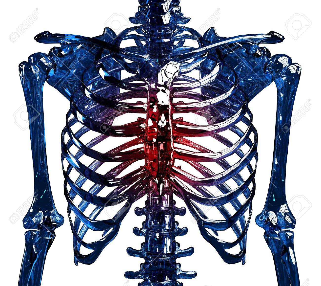 frontal view of a human skeleton chest and ribs made in 3d, Skeleton