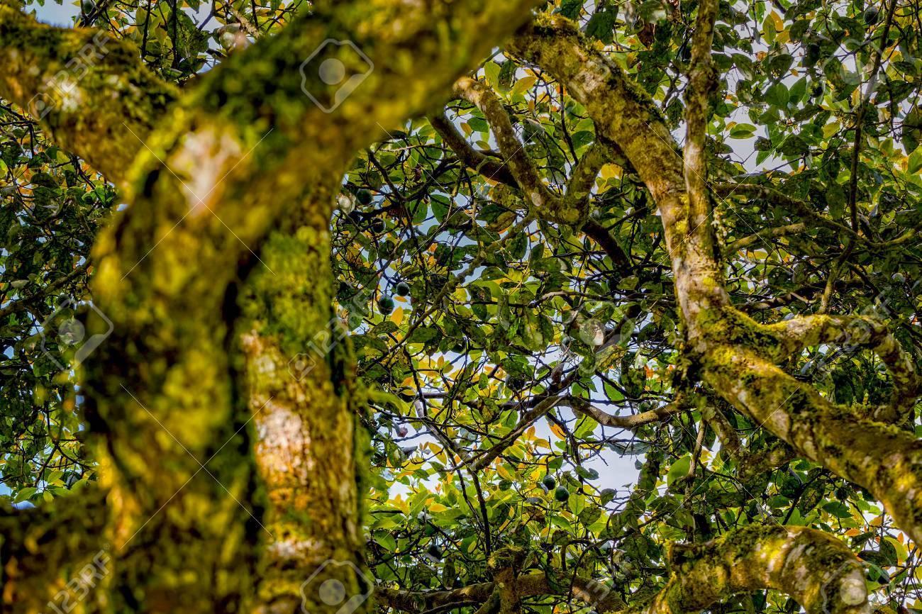 couronne d'un arbre d'avocat, equateur, amérique du sud banque d