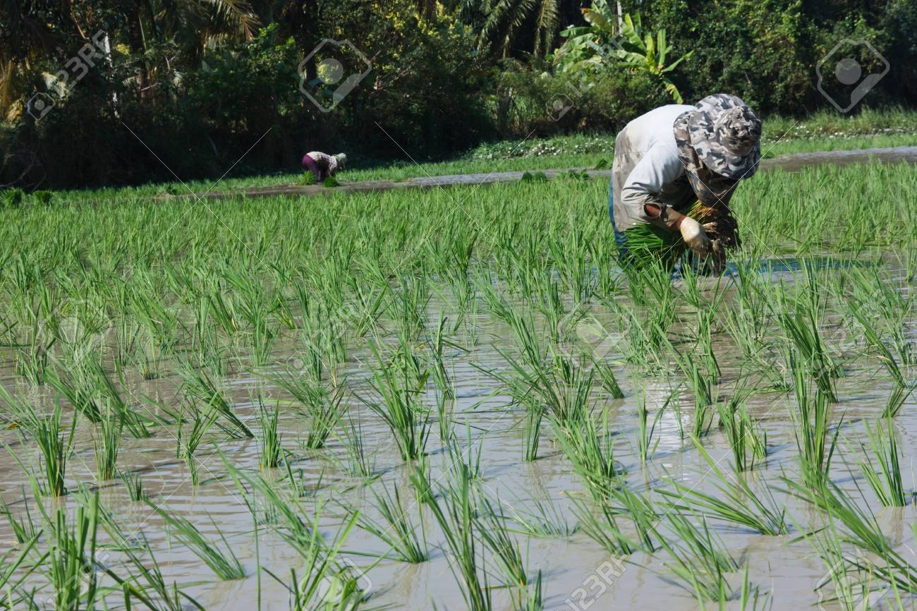 Farmers planting rice There are a variety of ways Most farmers