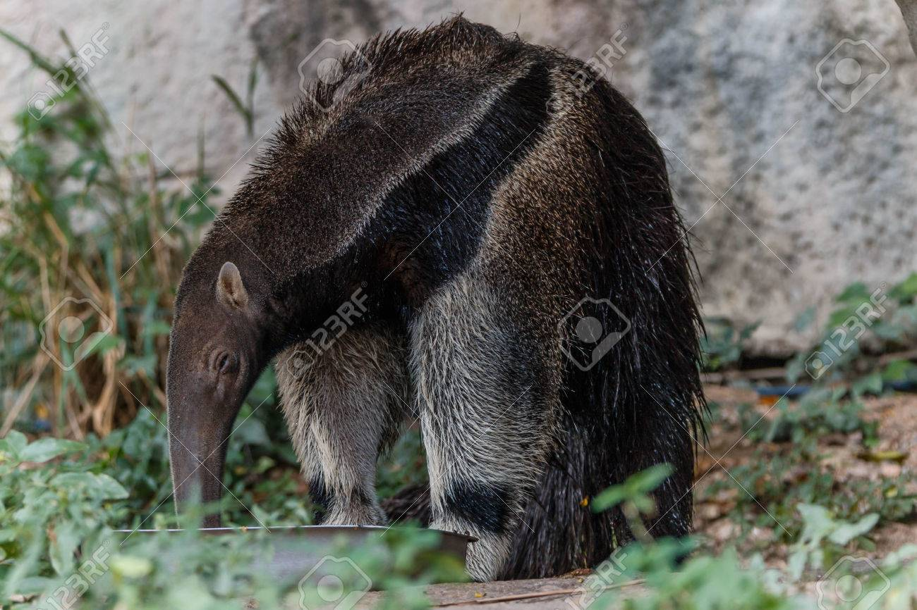 Giant anteater A large mammal. - 47229484