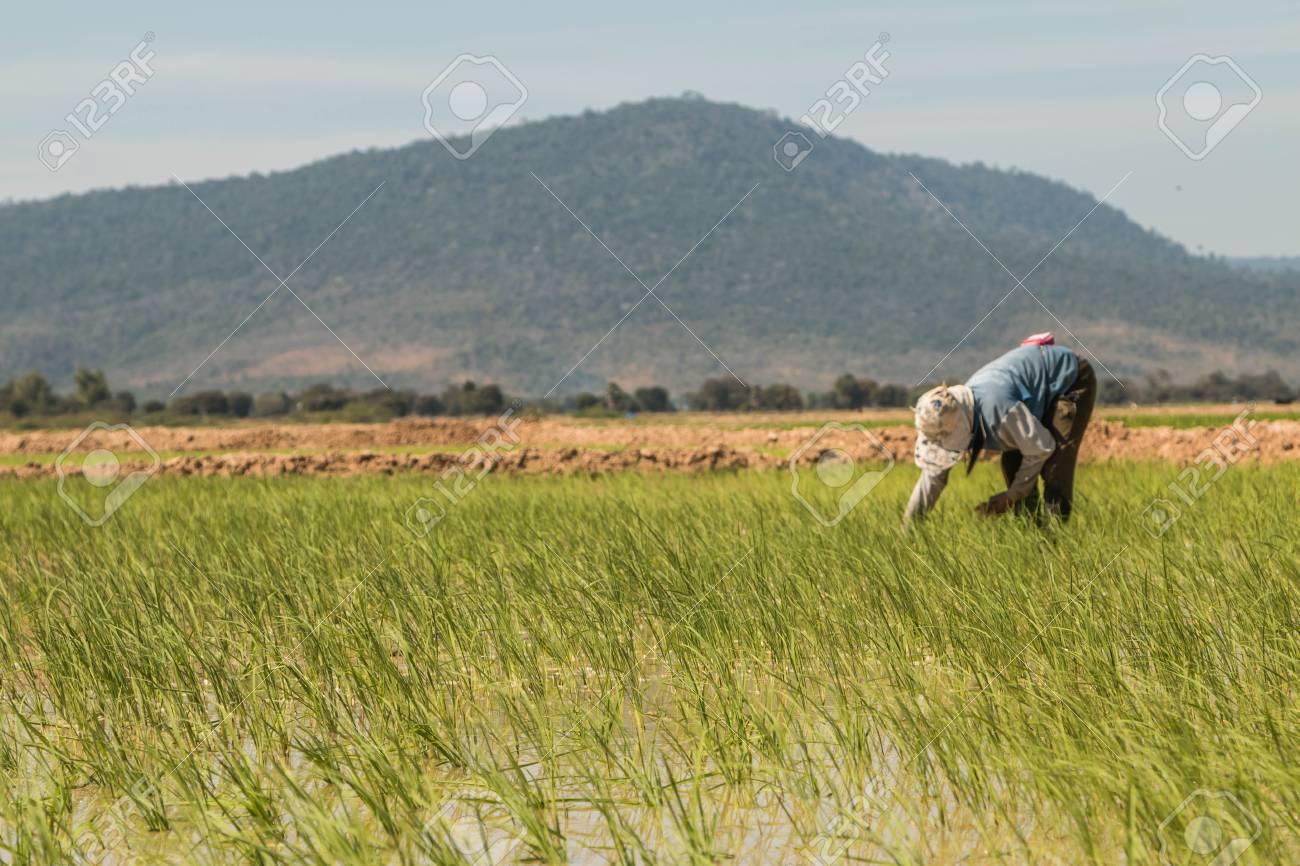 La Media Del área Para La Plantación De Arroz O Arroz Terrazas El Arar El Suelo Blando Los Altos Muros De Contención Y Cavaron Alrededor Por El Agua