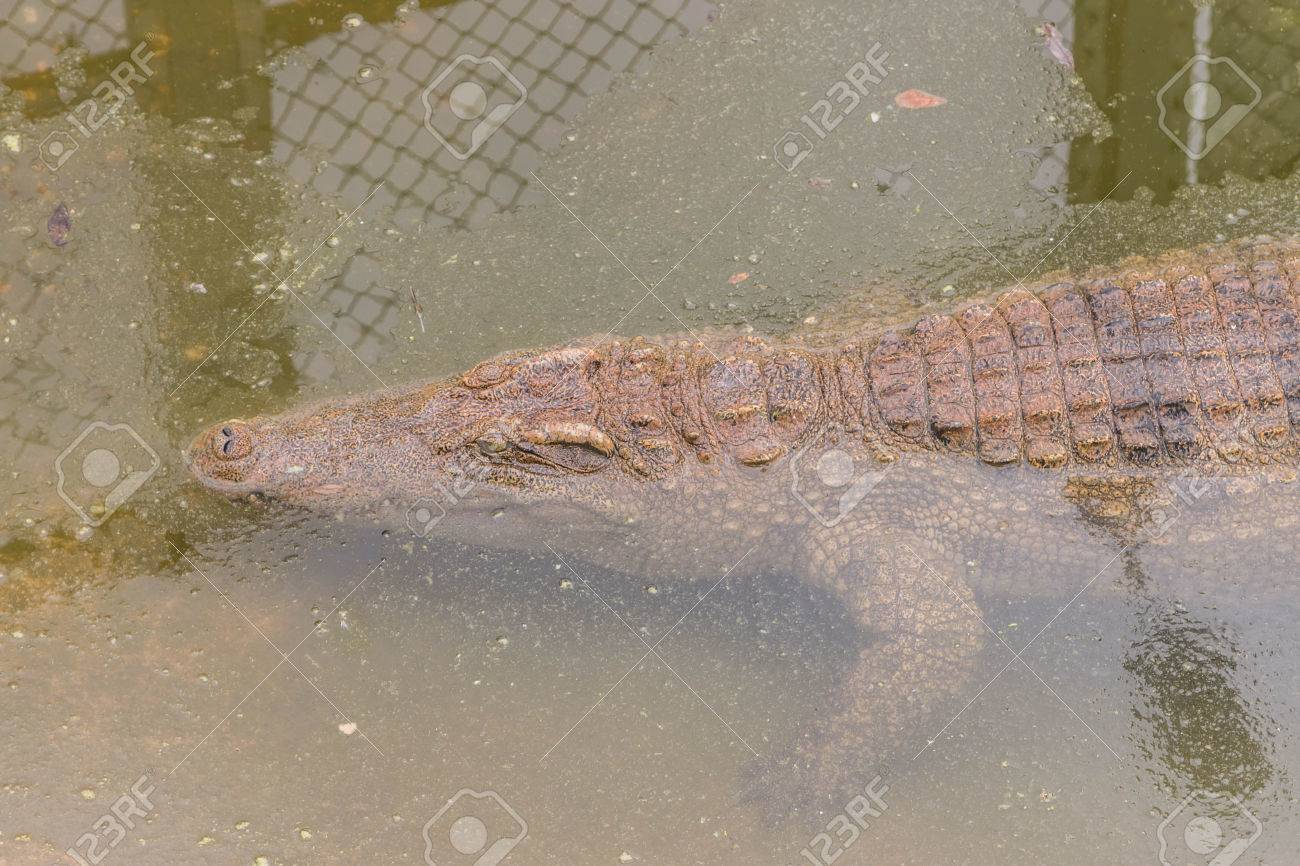 Gators Hold The Animal At The Top Of The Food Chain Ah Because