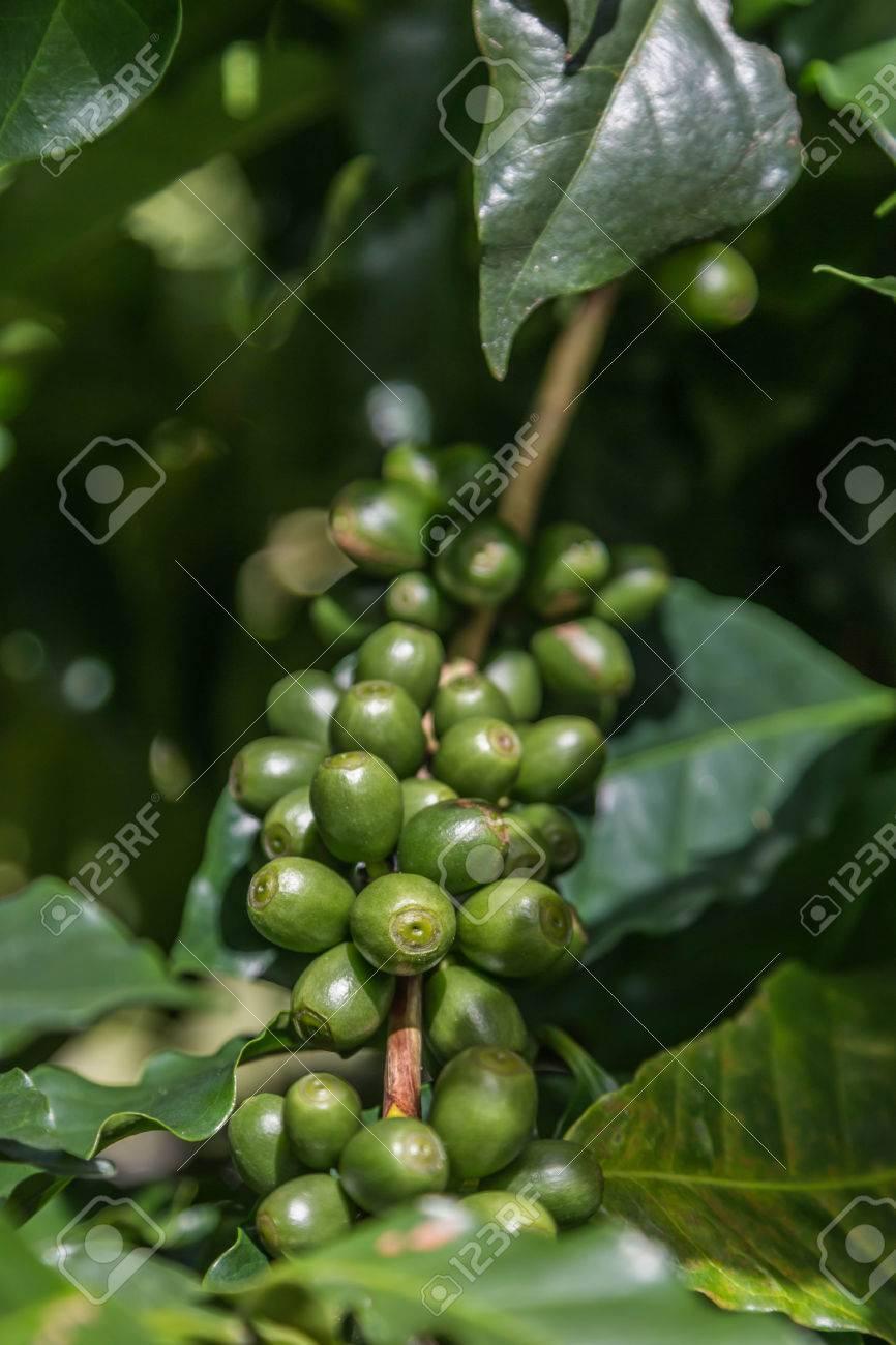 Le Cafe Est Une Boisson Faite A Partir Des Graines De La Plante De Cafe Ce Qui Est Communement Appele Grains De Cafe Torrefies Cafeiers Sont Cultives Dans Plus De 70 Pays