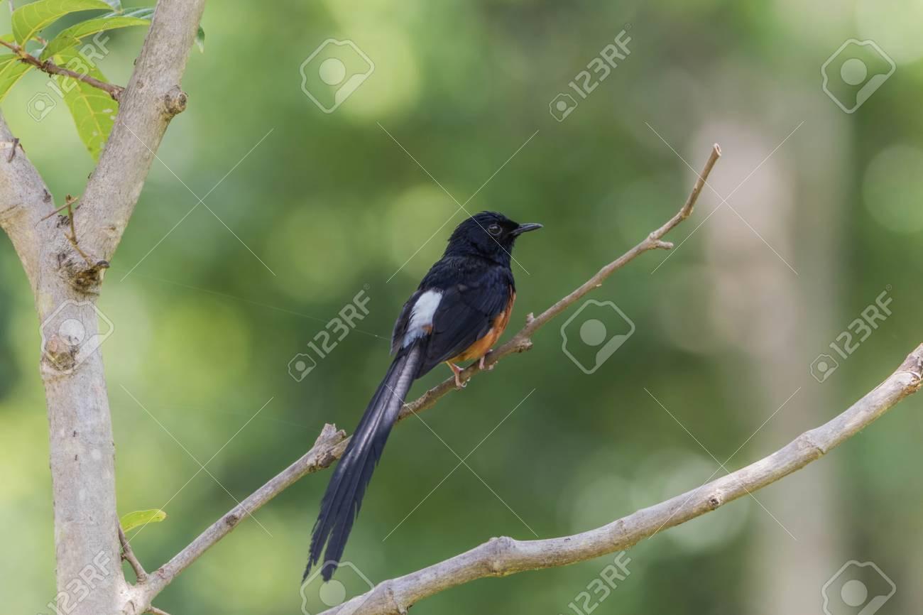 Magpie una vita dura uccello. la sua cucina è larve di insetti o